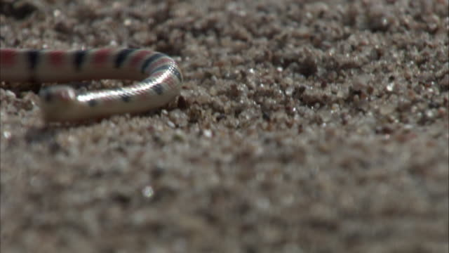 Shovel nosed snake on sand
