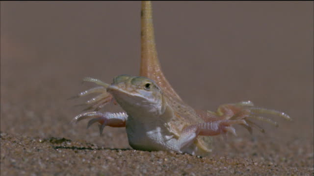 shovel snouted lizard raises feet off of sand and rests on stomach then runs off available in hd. - lizard stock videos and b-roll footage