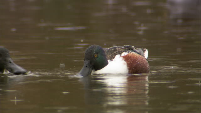 Shoveler ducks (Anas clypeata) dabble in lake in rain, Wales, UK