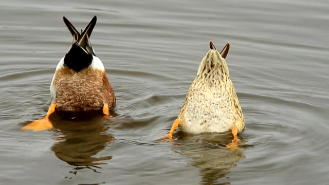 shoveler ducks pair with bottoms up, searching for food - duck stock videos and b-roll footage
