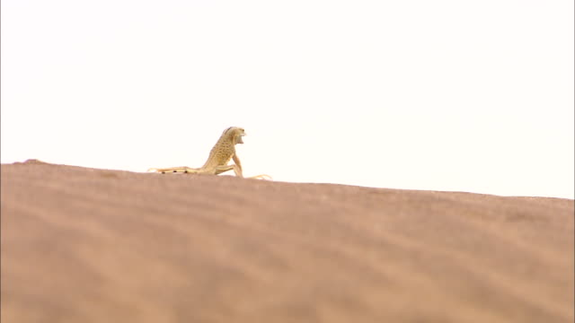 a shovel-nosed lizard runs along the crest of a dune in the desert. - sand dune stock videos & royalty-free footage