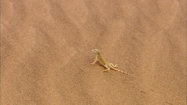 a shovel-nosed lizard runs through the desert and burrows into the sand. - wüste stock-videos und b-roll-filmmaterial