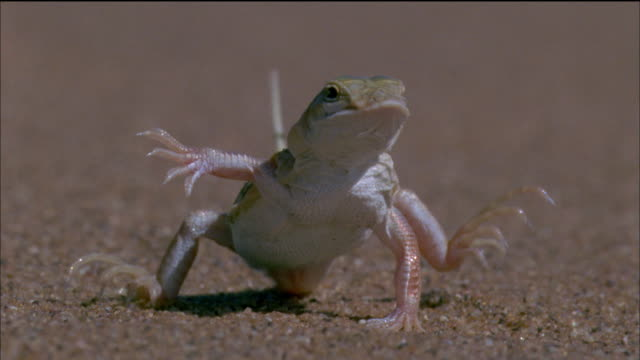 A Shovel-snouted lizard dances on scorching desert sands then runs away. Available in HD.