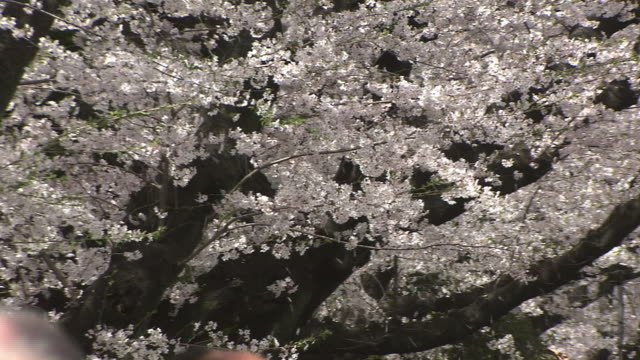 shower of cherry blossom, tokyo, japan - petal stock videos and b-roll footage