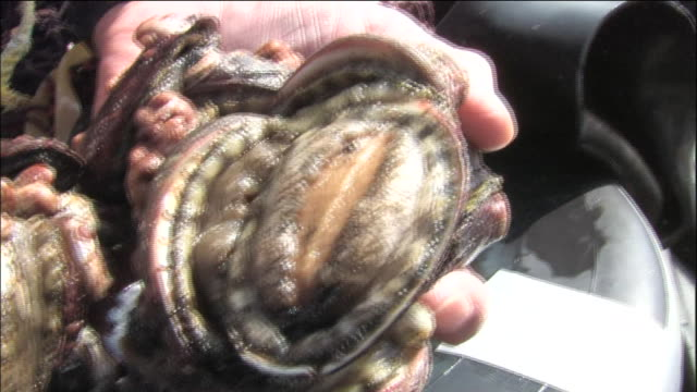 Showing abalone and tokobushi (Sulculus diversicolor supertexta): Close shot/ Pan left