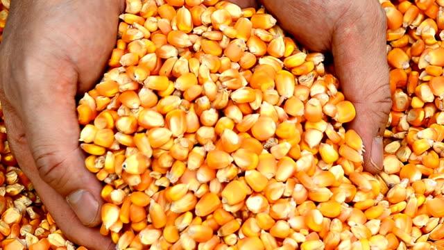Visualizzazione di mais fresco raccolto di cereali