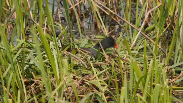 shows a common moorhen nesting by river river erne and shots of mallard duck, enniskillen on friday 17th may, 2019. - 鳥 カモ点の映像素材/bロール