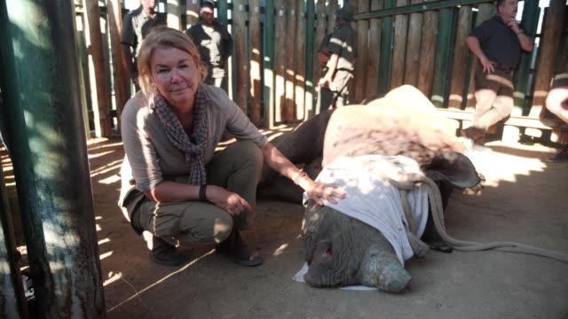 vídeos y material grabado en eventos de stock de shows aerial shots black rhinosaurus' including a baby rhino running through kruger national park landscape exterior shots goose the rhino in pens at... - especie en peligro de extinción