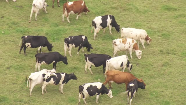 shows aerial shots cows standing grazing in green field on farm the governor of the bank of england warned today of the triple threat of slow growth... - pascolare video stock e b–roll