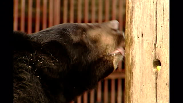 shows exterior close up shots asian black bear licking honey smeared on a log in an outside enclosure at a moon bear sanctuary in chengdu in sichuan... - enclosure stock videos & royalty-free footage