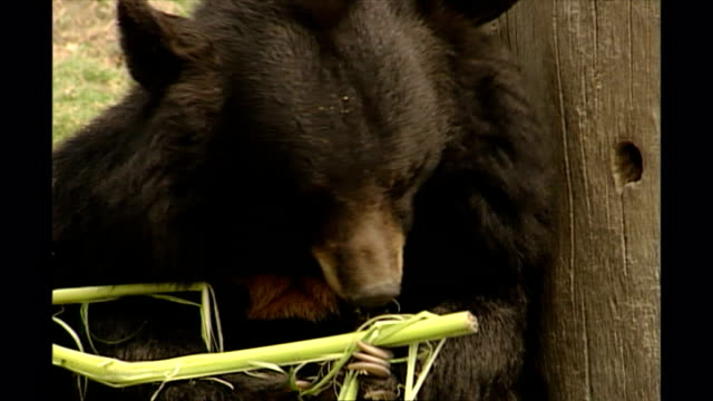 shows exterior shots asian black bear sitting eating leaf in an outside enclosure at a moon bear sanctuary in chengdu in sichuan province on... - enclosure stock videos & royalty-free footage