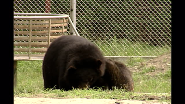shows exterior shots asian black bears fighting in an outside enclosure at a moon bear sanctuary in chengdu in sichuan provinceon september 10th,... - enclosure stock videos & royalty-free footage
