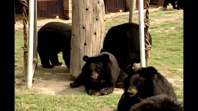 shows exterior shots asian black bears in an outside enclosure finding bits of hidden food and treats at a moon bear sanctuary in chengdu in sichuan... - enclosure stock videos & royalty-free footage