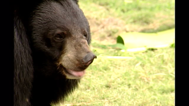 shows exterior shots asian black bears in an outside enclosure eating leaves at a moon bear sanctuary in chengdu in sichuan province on september... - enclosure stock videos & royalty-free footage