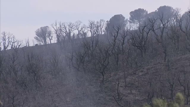 Shows exterior shots black burnt tree trunks on hillside after wildfires swept across countryside on 26th July 2017 in Le Lavandou Southern France