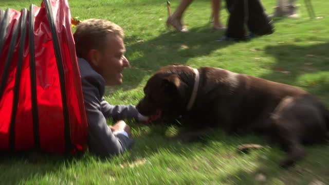 shows exterior shots craig mackinlay mp playing with his chocolate labrador dog over obstacle course and through tunnel next to houses of parliament.... - hindernisparcours stock-videos und b-roll-filmmaterial
