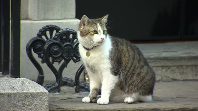shows exterior shots larry the downing street cat sitting on doorstep of number 10 in downing street on 11th june in london england - downing street stock-videos und b-roll-filmmaterial