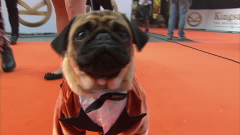shows exterior shots pug dog dressed in orange tux on the orange carpet at the world premiere of 'kingsman: the golden circle' held at odeon... - premiere stock videos & royalty-free footage