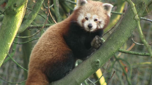 shows exterior shots red panda in tree grooming itself at dudley zoo on december 08, 2016 in dudley, united kingdom. - endangered species stock videos & royalty-free footage