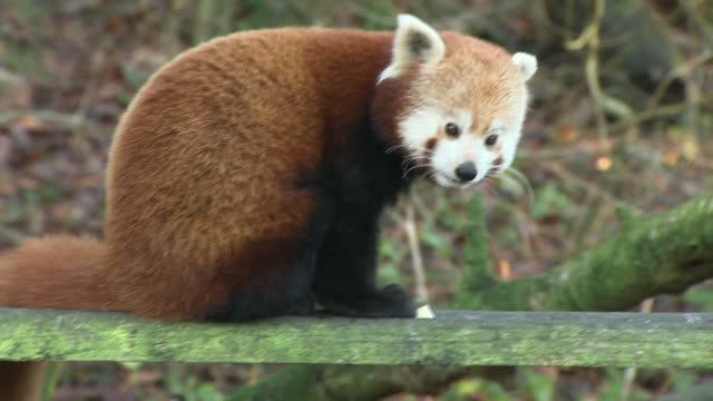 shows exterior shots red panda sitting on plank eating apple at dudley zoo on december 08, 2016 in dudley, united kingdom. - panda stock-videos und b-roll-filmmaterial