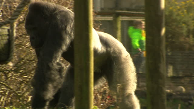 shows exterior shots western lowland gorilla walking around and sitting eating in enclosure at bristol zoo. a baby gorilla has been born at a british... - enclosure stock videos & royalty-free footage