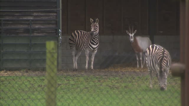 Shows exterior shtos animals inenclosures at Woburn Safari Park including deer zebras and camels on rainy day Staff at Woburn Safari Park say they're...