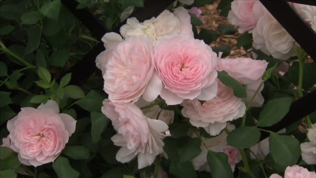 shows interior shots close up of various types of roses at the chelsea flower show on 21st may 2018 in london england united kingdom - chelsea flower show stock videos & royalty-free footage