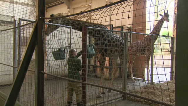 shows interior shots zookeeper putting buckets of feed in giraffes cage and rothschild's giraffes beginning to eat at dudley zoo giraffes are heading... - gabbia video stock e b–roll
