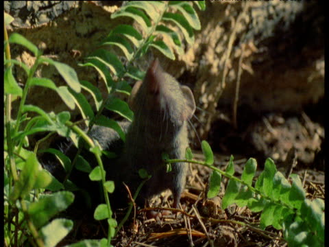 shrew sniffs air in woodland, uk - squiggle stock videos & royalty-free footage