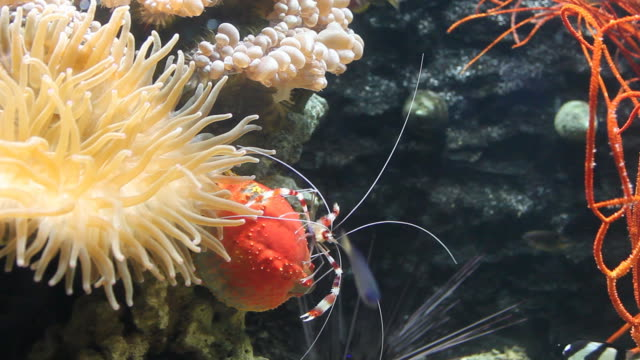 shrimp crawling down rock with anemone, urchin and clownfish around