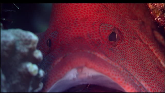 shrimp crawls from mouth of tomato hind grouper, mount chokaisan, yamagata, japan, diving shot - 鳥海山点の映像素材/bロール