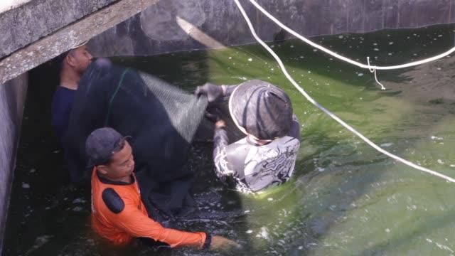 vidéos et rushes de shrimp farmers catch shrimp using a net at a shrimp farm in yogjakarta, java indonesia - industrie de la pêche