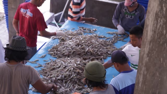 shrimp farmers sort a large amount of shrimp on a blue table in yogjakarta, java indonesia. - prawn animal stock videos and b-roll footage