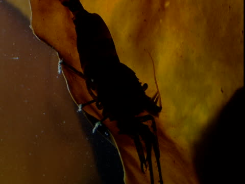 a shrimp feeds on kelp frond. - anacortes stock videos & royalty-free footage