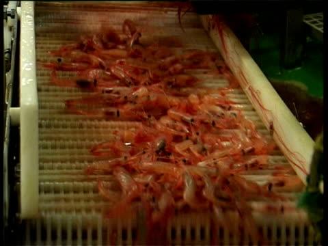 mcu shrimp moving along conveyor belt canadian eez zone, northwest atlantic. - shrimp stock videos & royalty-free footage