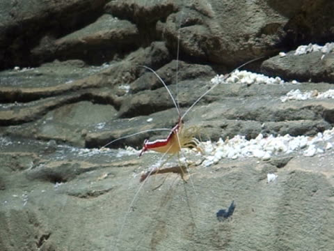 Shrimp, on rock, tranquil