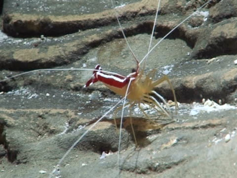 Shrimp, on rock