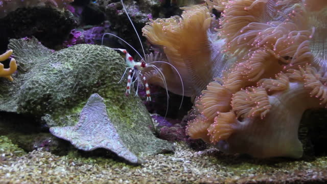 Shrimp walking on the coral.