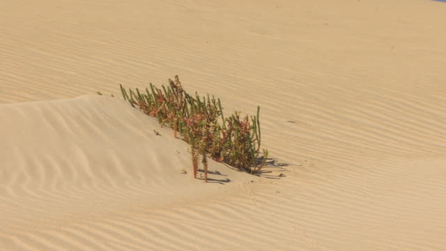 cu, zo, shrub on sand dune / parque naturale de corralejo, fuerteventura, canary islands, spain - parque natural stock videos and b-roll footage