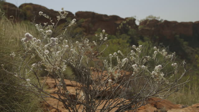 shrub with white flowers red centre, nt - bush stock videos & royalty-free footage