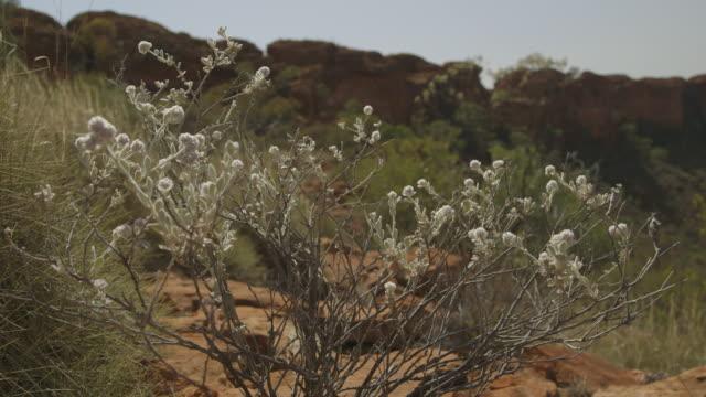 vídeos de stock e filmes b-roll de shrub with white flowers red centre, nt - arbusto