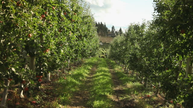 shrubs apples extending on the plot of an orchard - bush stock videos & royalty-free footage