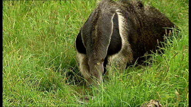 London London Zoo EXT Robert Harland along in enclosure with Sauna the giant anteater and talks about the anteaters SOT Sauna eating ant porridge...