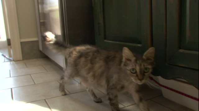 a shy laperm cat walks through its home. - shy stock videos & royalty-free footage