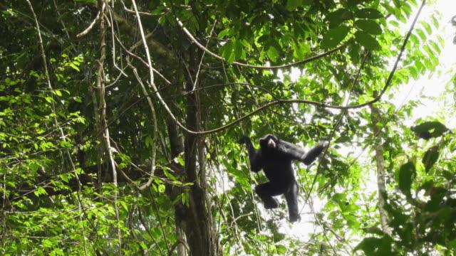 vídeos y material grabado en eventos de stock de siamang (symphalangus syndactylus) clambering on a tree in mount halimun salak national park, indonesia - java
