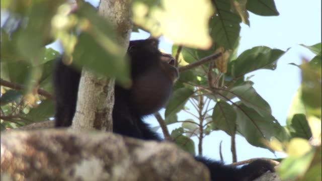 Siamang gibbon calls from rainforest canopy, Sumatra