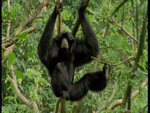 Siamang Gibbon calls from tree