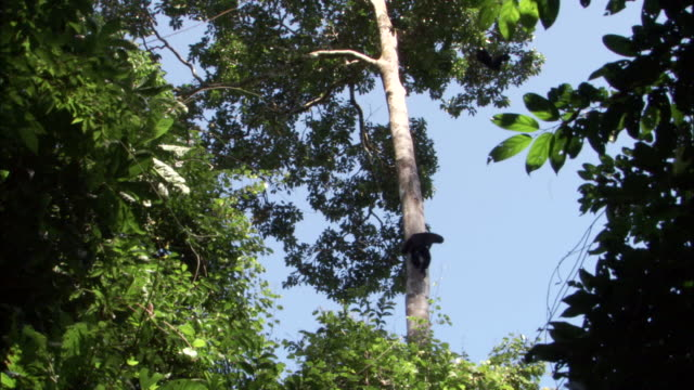 siamang gibbon climbs tree trunk, sumatra - tall high stock videos & royalty-free footage