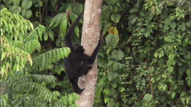 siamang gibbon climbs tree trunk, sumatra - copertura di alberi video stock e b–roll