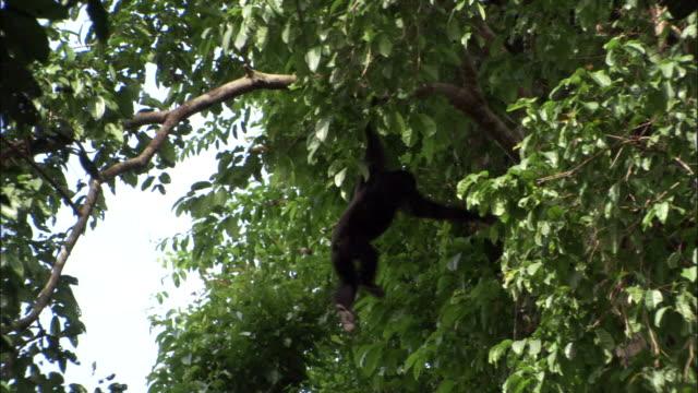 Siamang gibbon swings through rainforest canopy, Sumatra